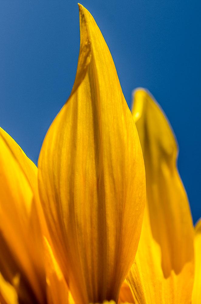 Slunečnice - kontrast modré oblohy a žlutých květů