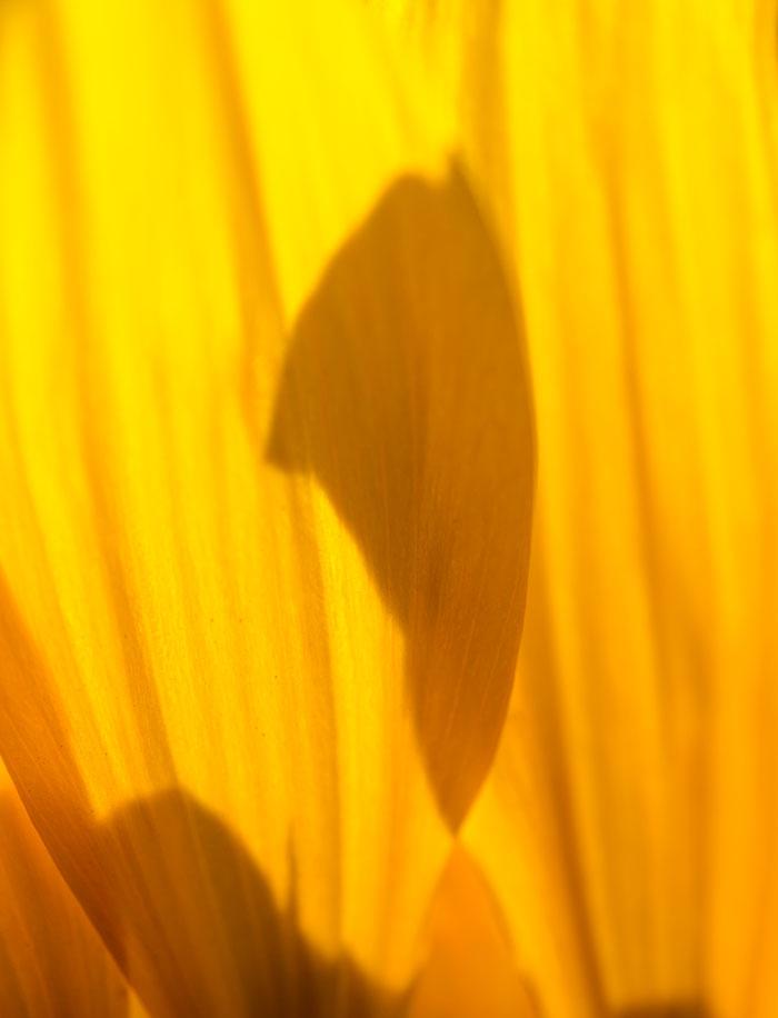 Stíny v okvětních lístcích slunečnice