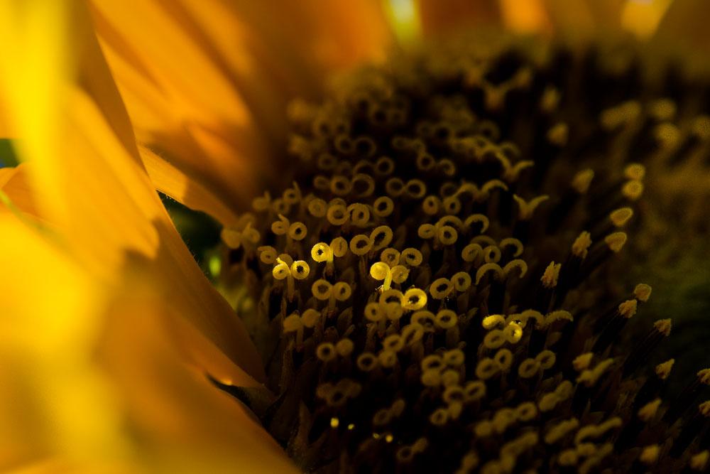 Slunečnice - bodově nasvícené pestíky