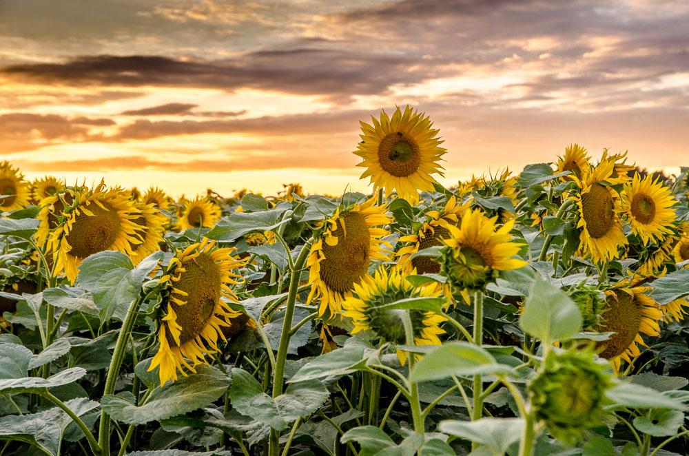 Fotografujeme slunečnice
