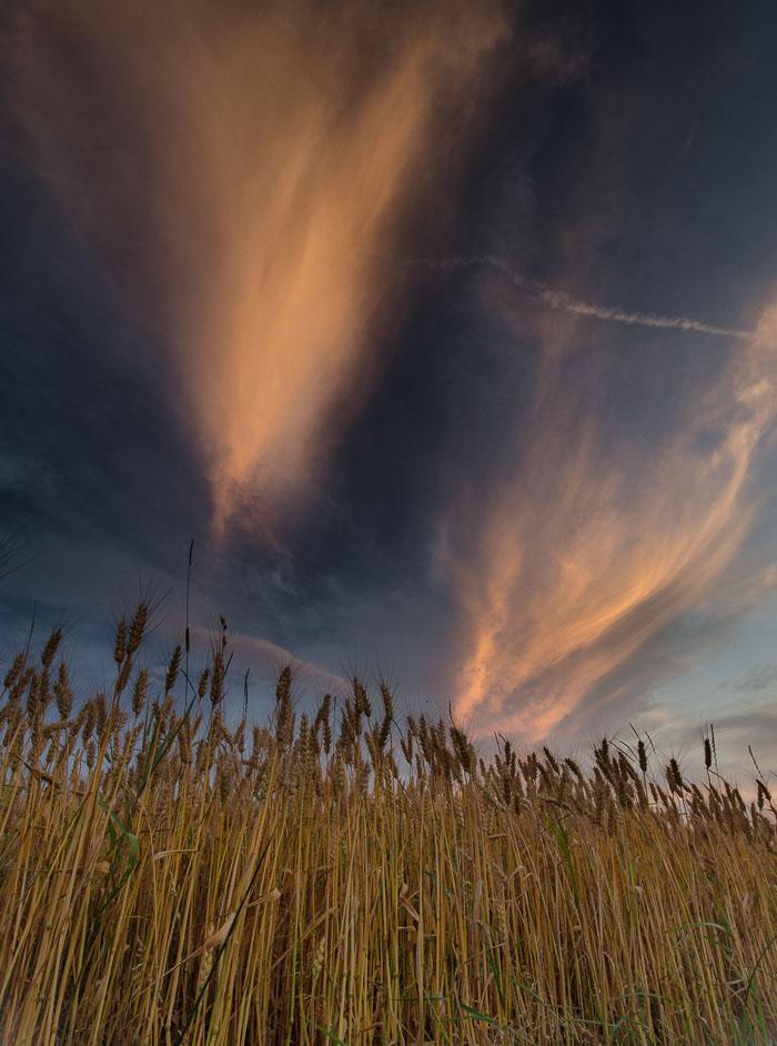 Západ slunce v obilí u Obrub