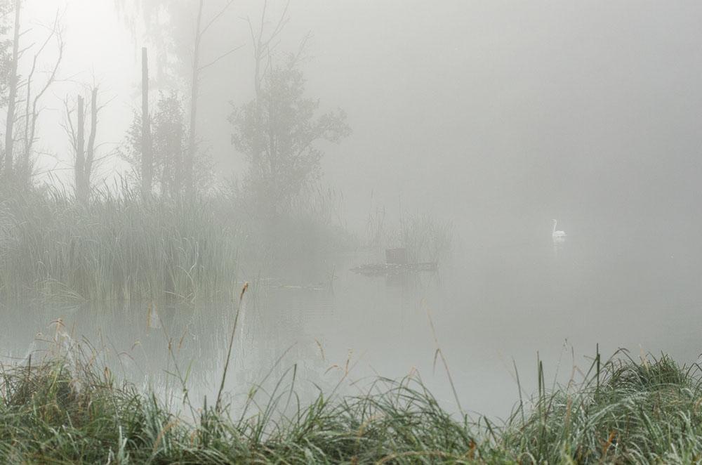 Labuť v ranní mlze na rybníku Hliňák