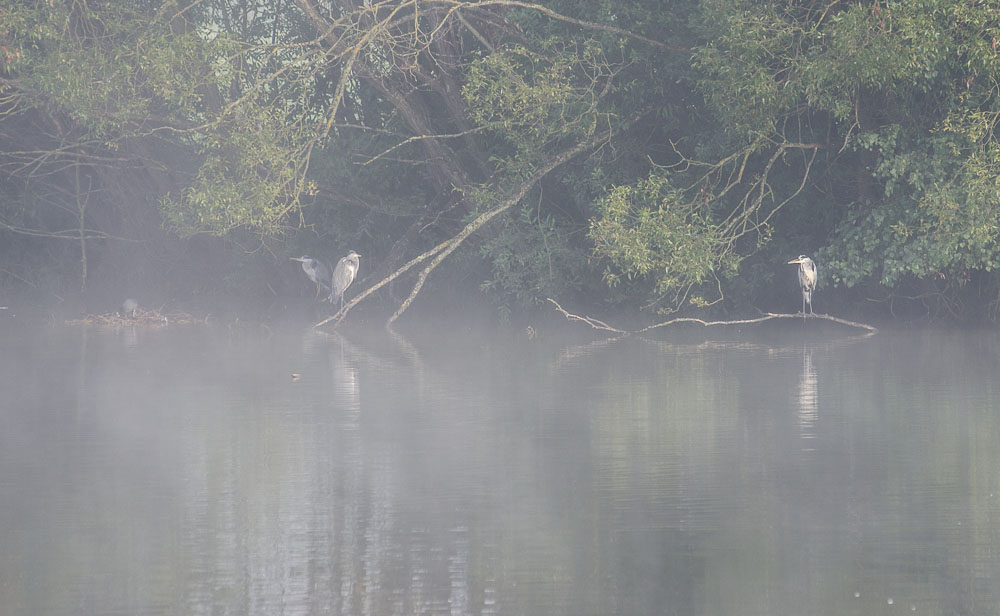 Volavky na Dolním březském rybníce