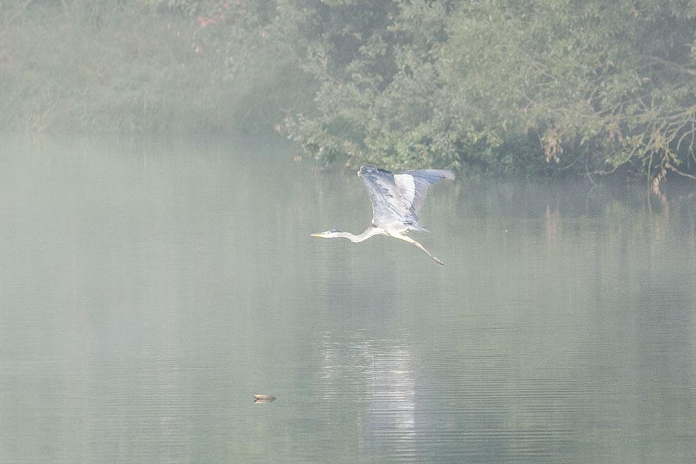 Volavka v letu. Dolním březský rybník.