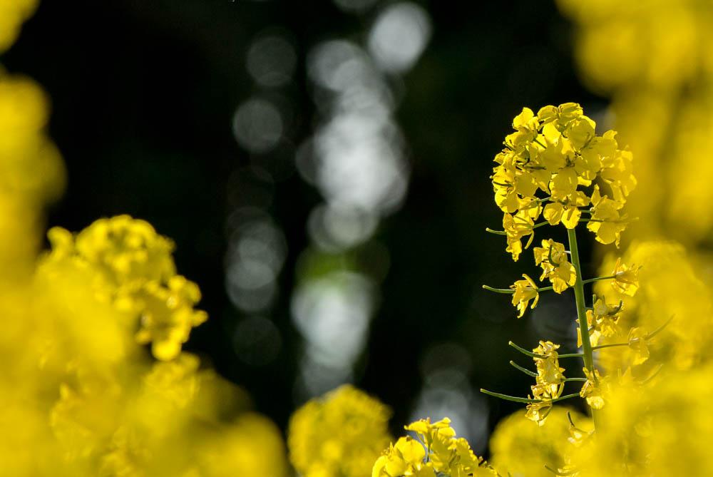Řepka – žluté jarní lány