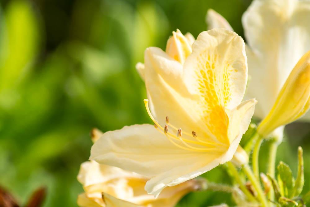 Fotit rododendrony není tak úplně jednoduché - doma nám kvetou sytě fialové, jejich snímky se mi nějak nelíbí. Naštěstí máme i žluté, ty se mi fotí lépe.