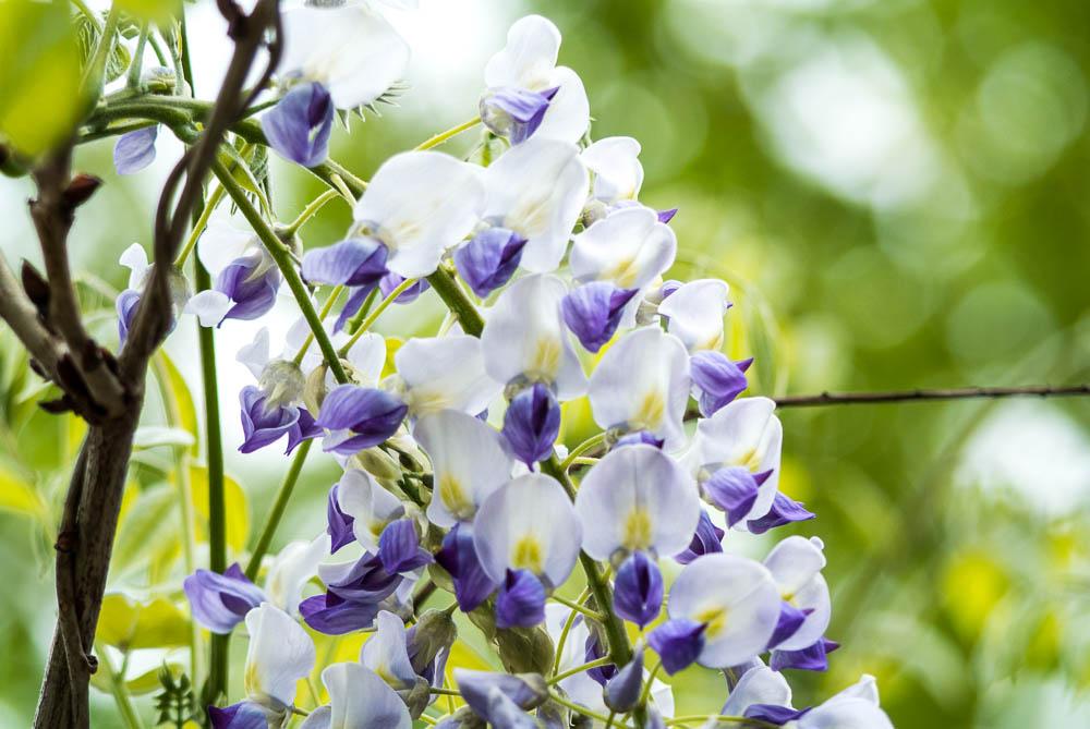 Květy z Průhonic - omlouvám se, jméno této kvetoucí popínávky jsem si zapomněl poznamenat...kdo ví, nechť napoví.