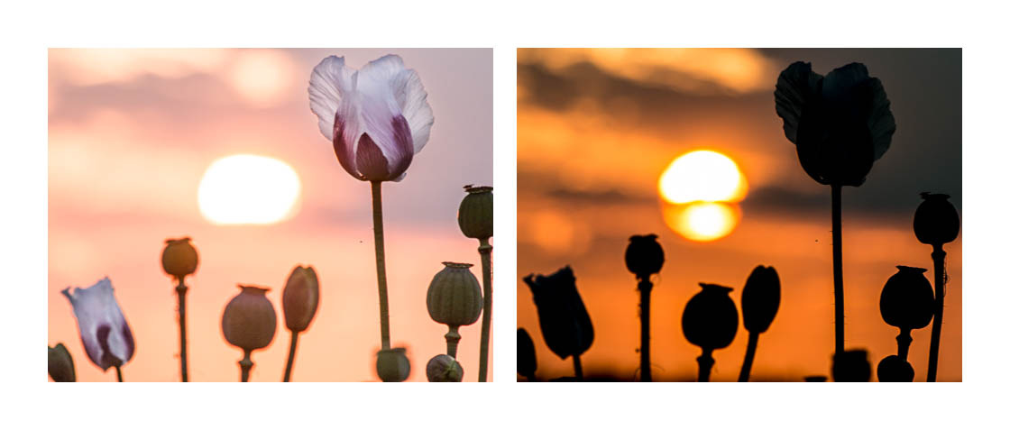 Opět totožný záběr jen s různou expozicí: v pravo záměrná podexpozice, která vytvoří siluety, vlevo pak expozice více na květy, i nízké slunce se přepálí. Oba záběry mají něco do sebe.