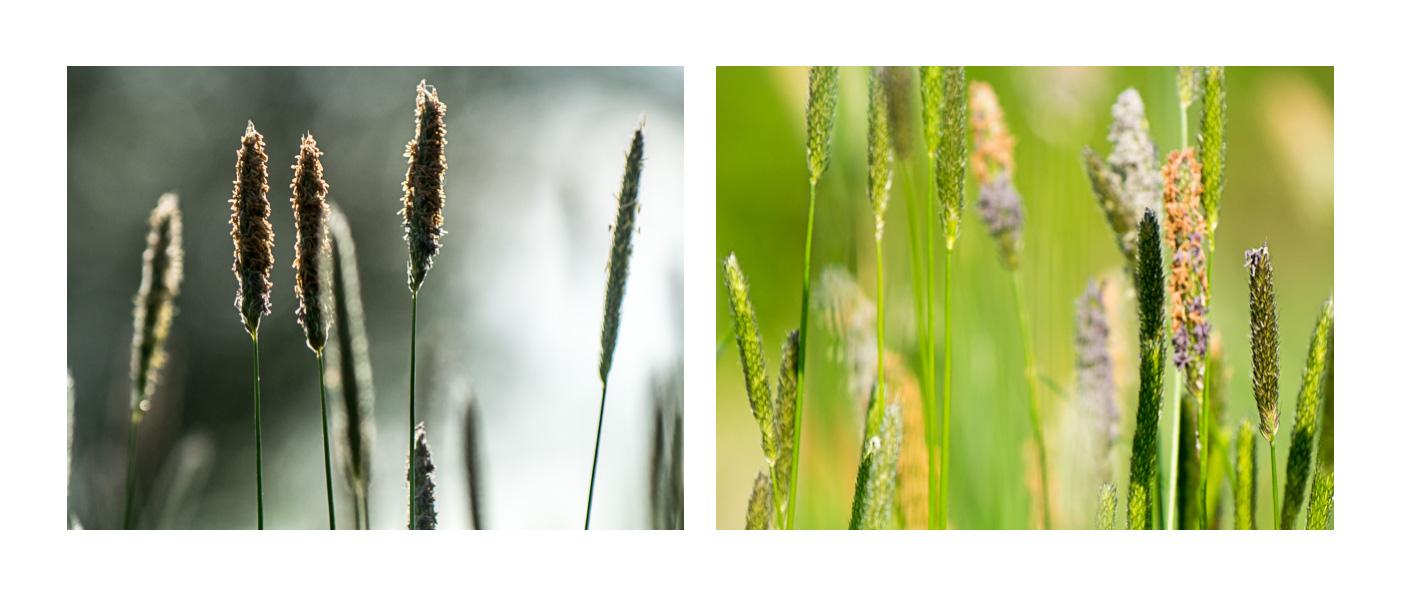 Ty samé květy dvakrát jinak:  vpravo po světle - tak se na květy většinou díváme, vlevo pak květy v protisvětle - fotografie dostane úplně jinou atmosféru.