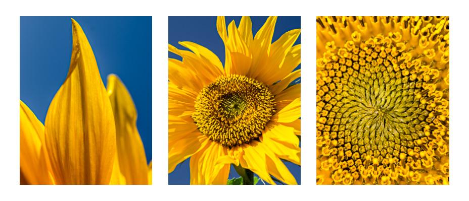 Slunečnicový triptych