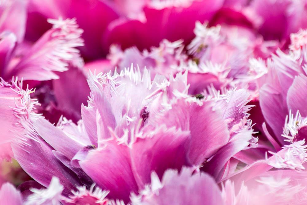 Detaily tulipánů.