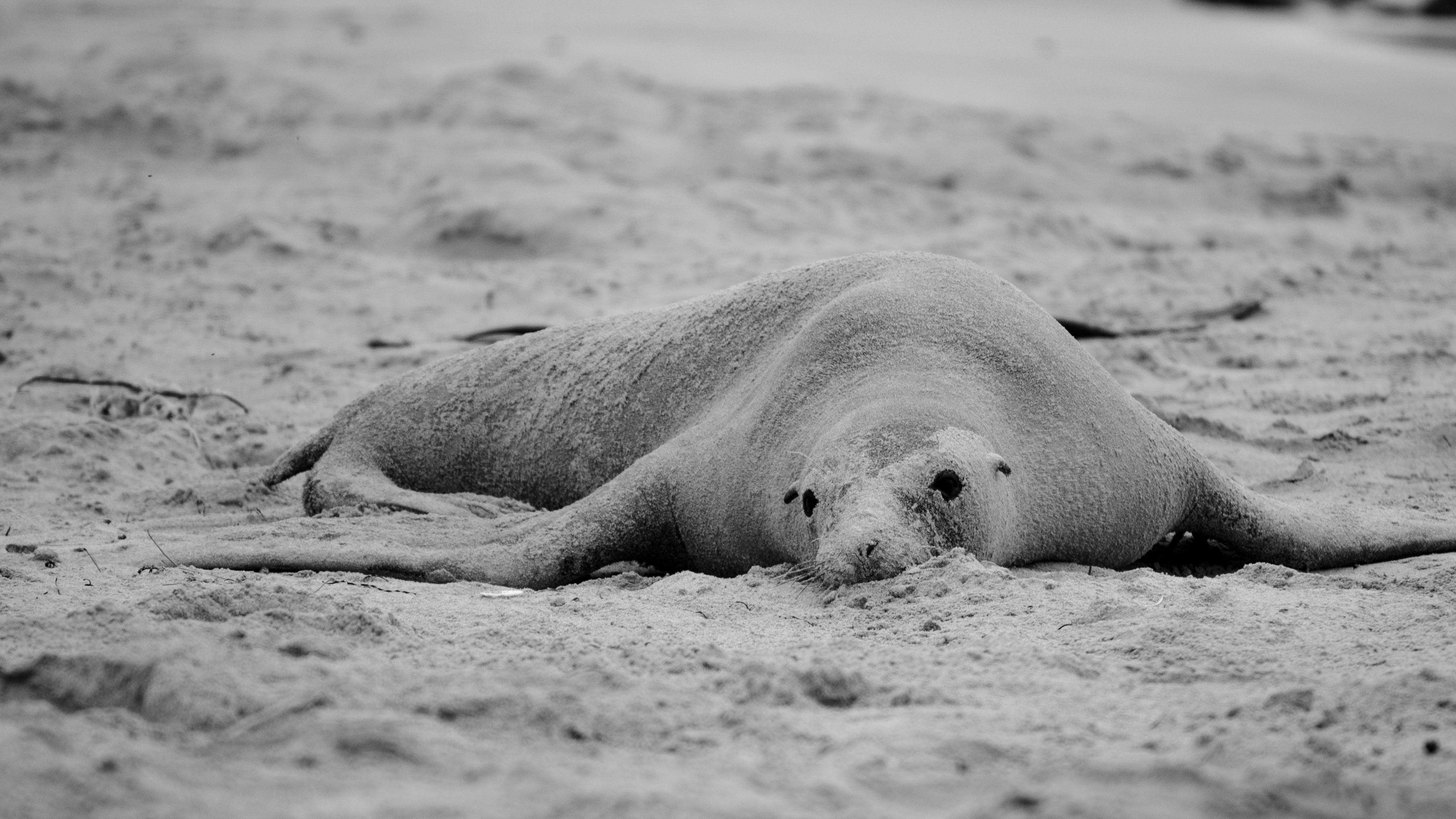 Mládě lachtana hřivnatého na pláži.