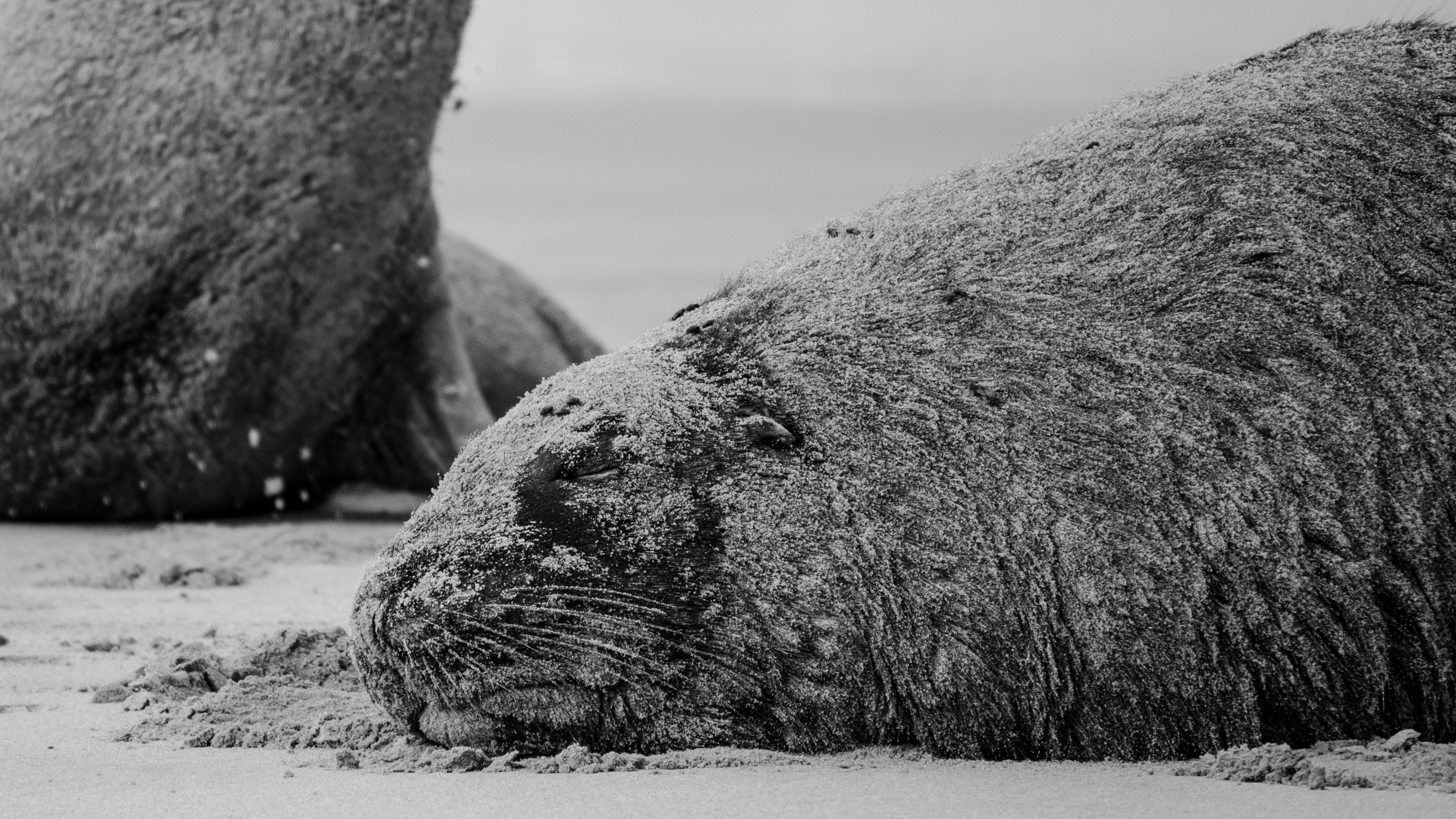 Lvouni, neboli lachtani hřivnatí, si dávají záležet, aby byli neustále pokryti vrstvou písku, snadno je tak přehlédnete.
