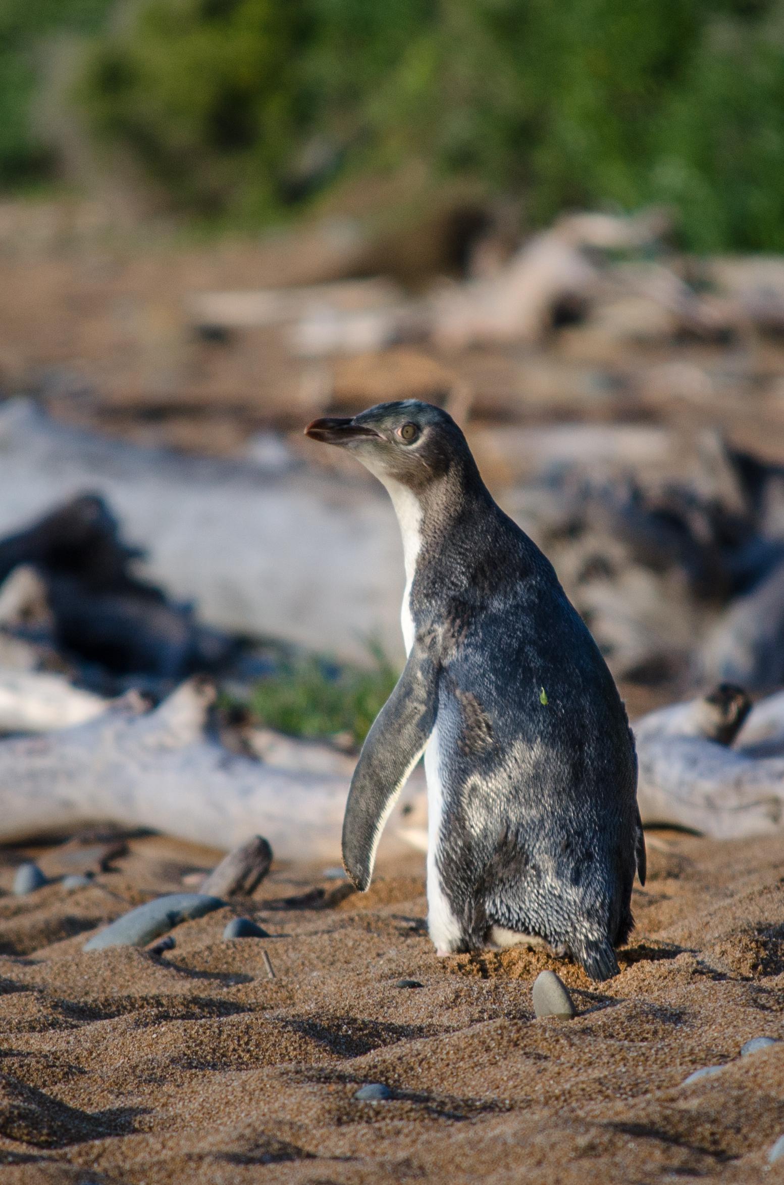 Tučňák bělopasý