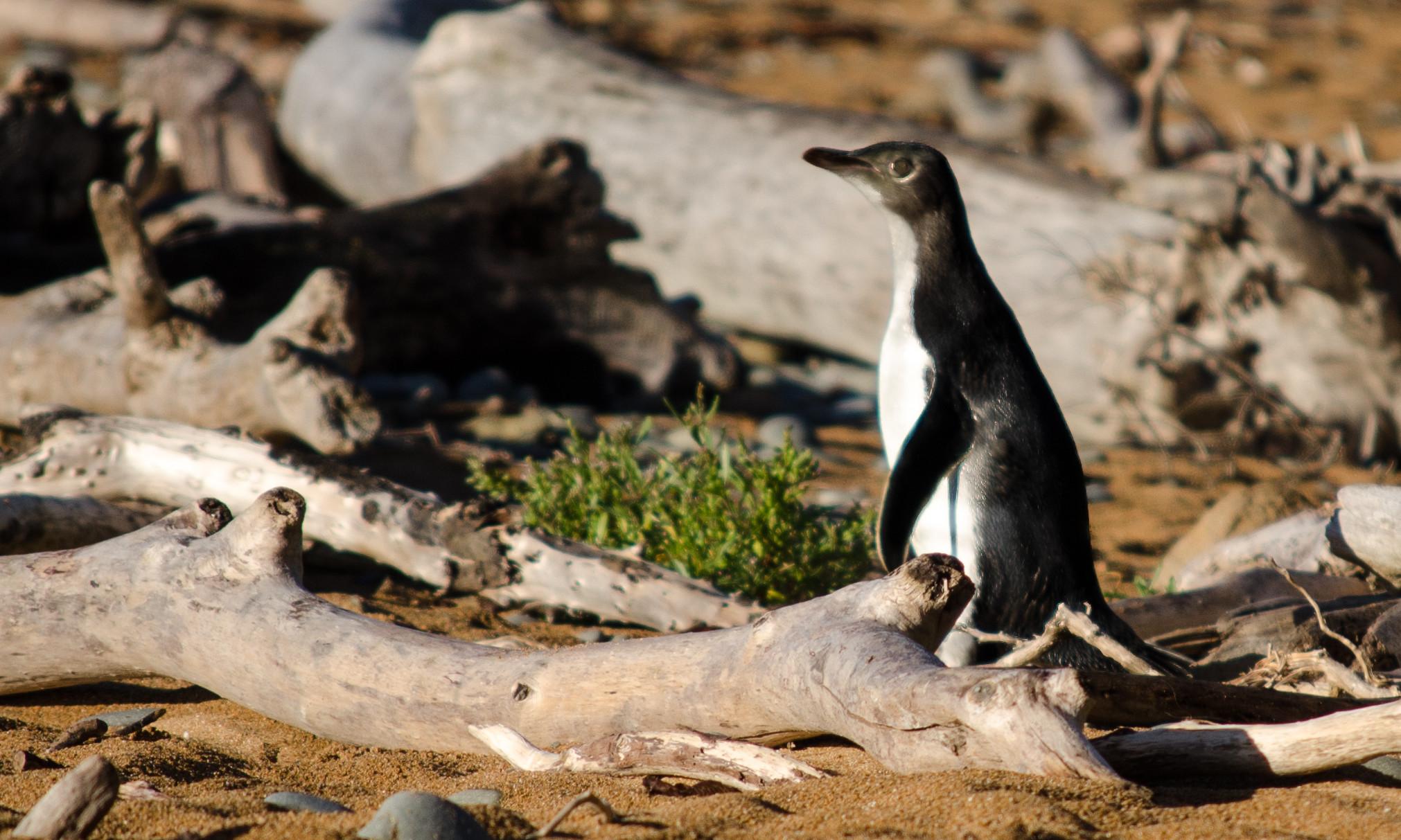 Fotografování tučňáků na Novém Zélandu