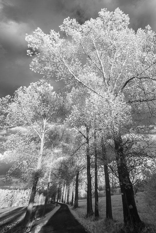 Topoly (infračervená  fotografie)