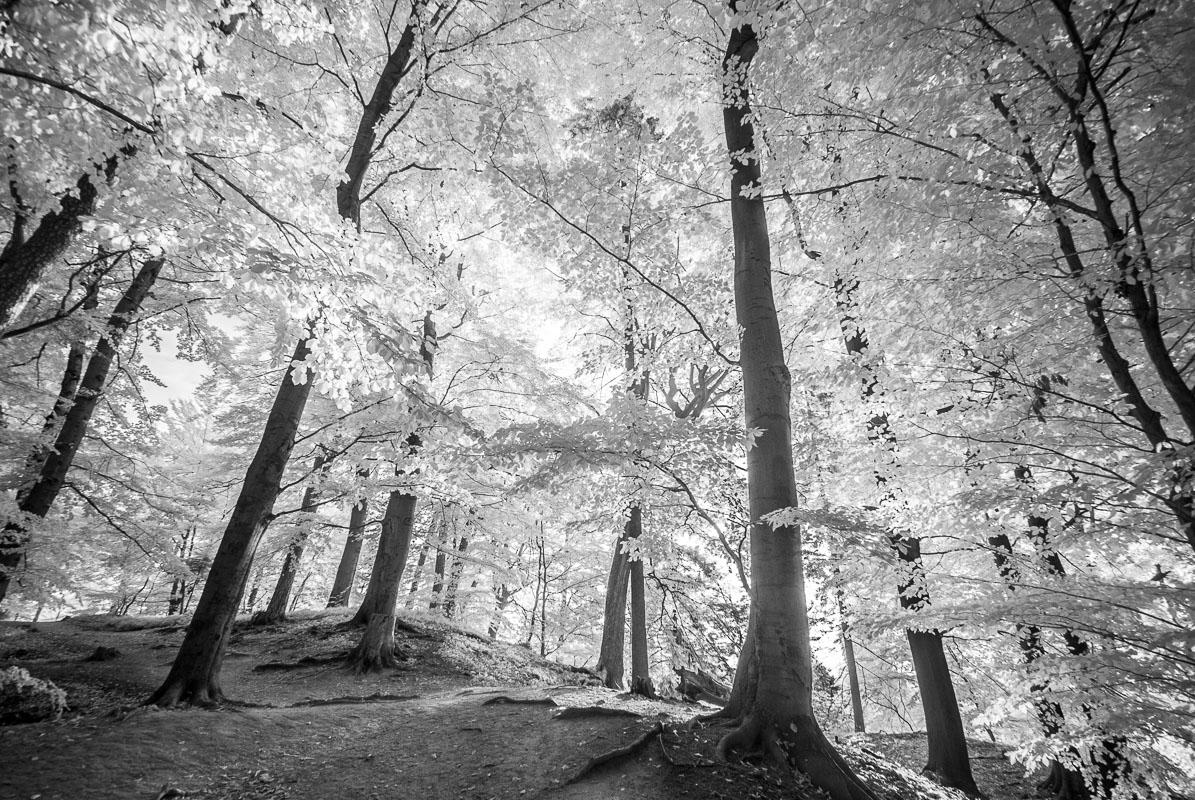Bílé bučiny (infračervená  fotografie)