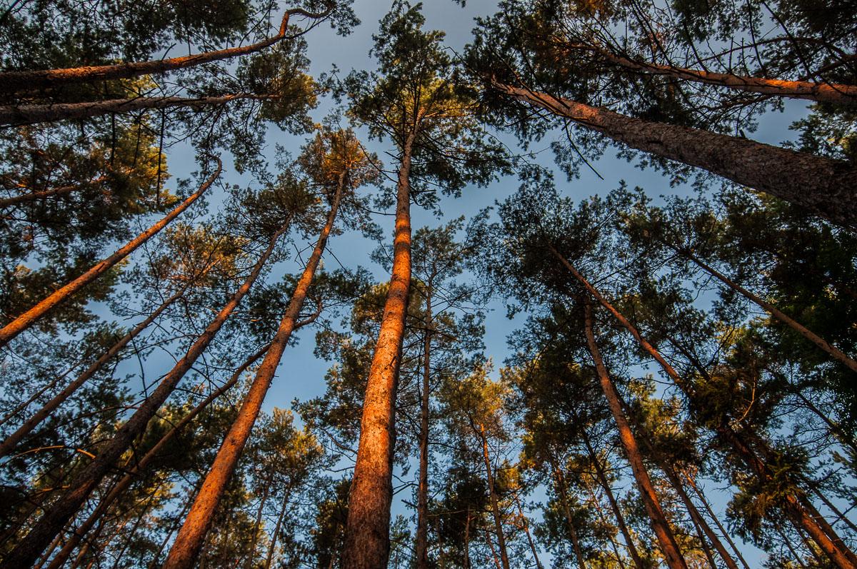 Les u Krásné vyhlídky - pohled po světle. Ranní slunce má velmi teplý nádech.