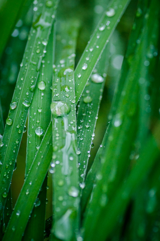 Kapky na trávě jsou klasický motiv - ideální je zatažené počasí a difúzní světlo