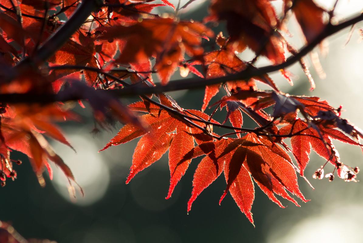 Listy javoru v prostisvětle