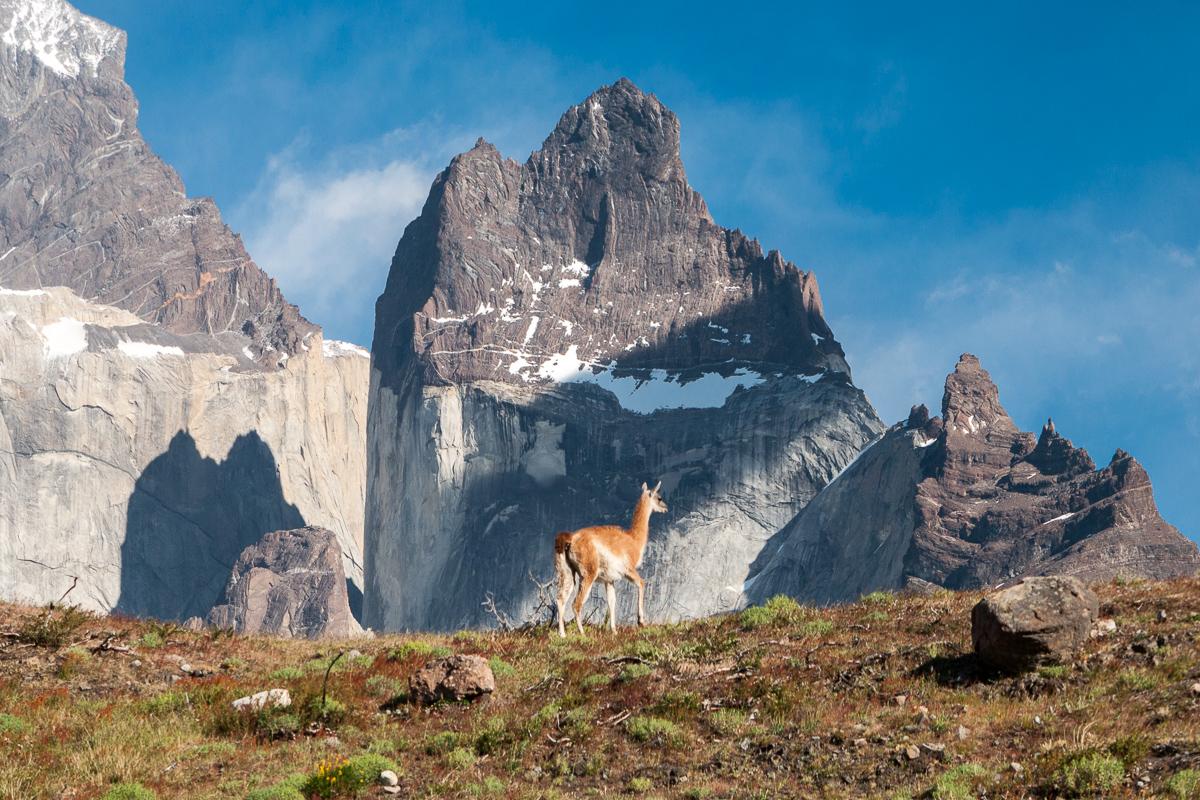 Lama v Patagonii.