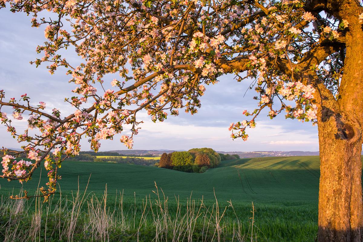 Jaro v Českém ráji – rozkvetlé jabloně u Kamenice