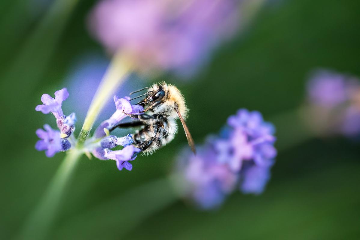 Tahle včela byla mimořádně vychovaná (nebo žíznivá) - asi sekundu se nevrtěla a já si mohl udělat ostrý snímek...