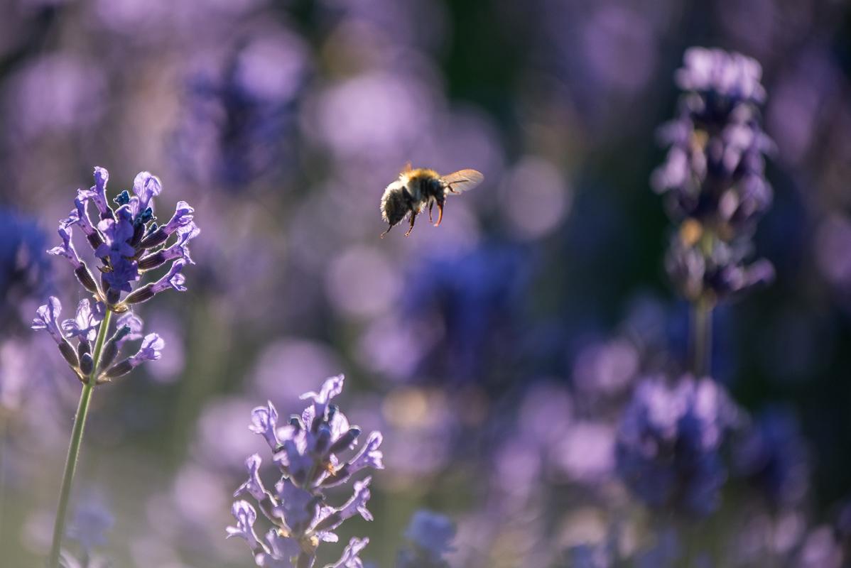 Hurá - včela v letu a je jakžtakž ostrá - křídla jsem sice nechytil ve fotogenické pozici, ale co už....