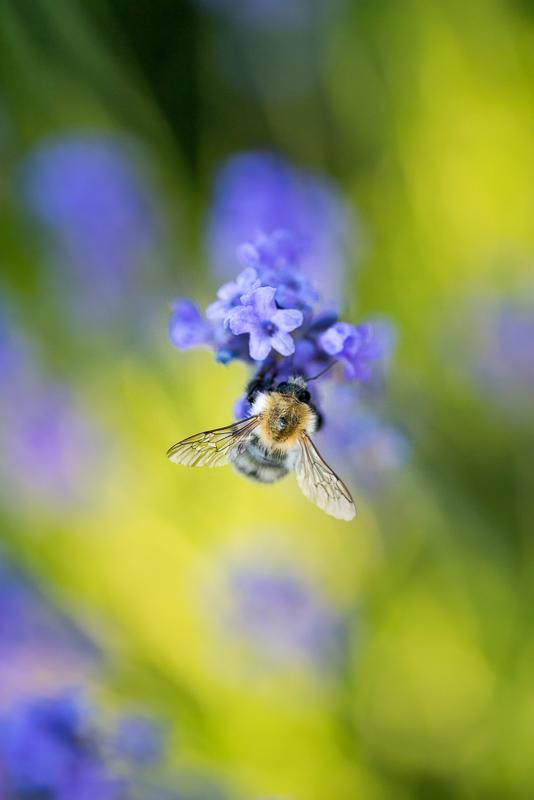 Při focení včel se nesmí zapomenout na ladné pozadí, které bude pasovat k jejich chlupatému kožíšku