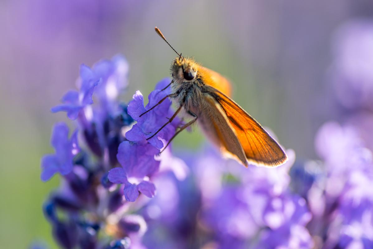 Motýl na levanduli - když viděl, jak včelky pózují, přiletěl taky, fešák jeden...