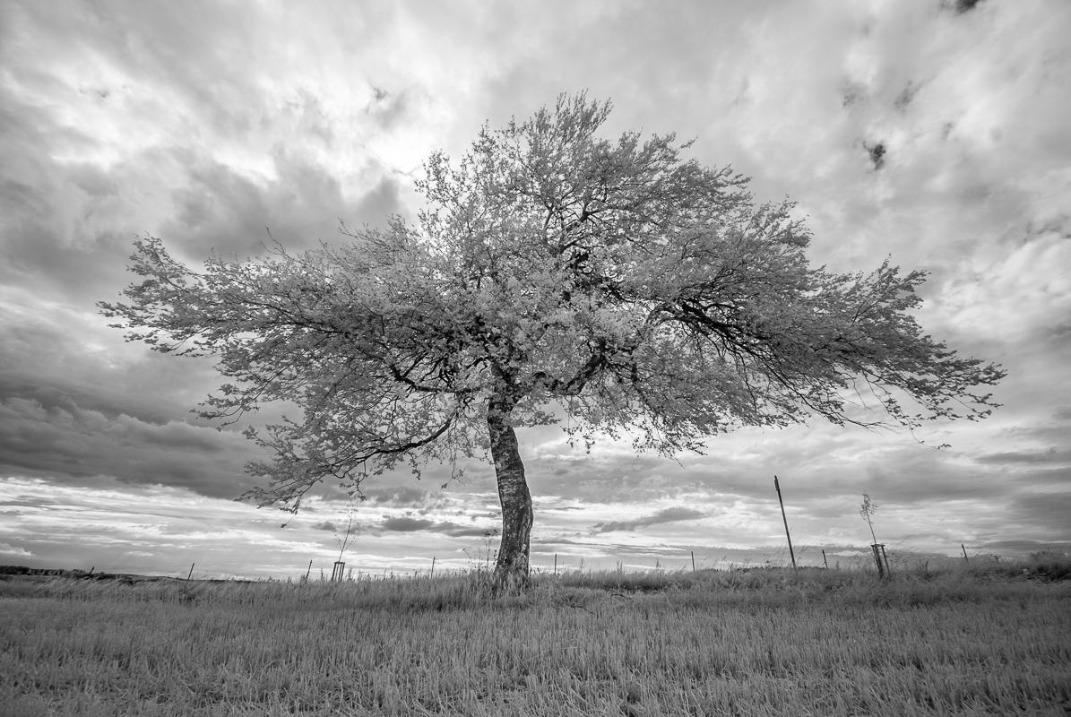 Osamělý strom (infračervené spektrum)