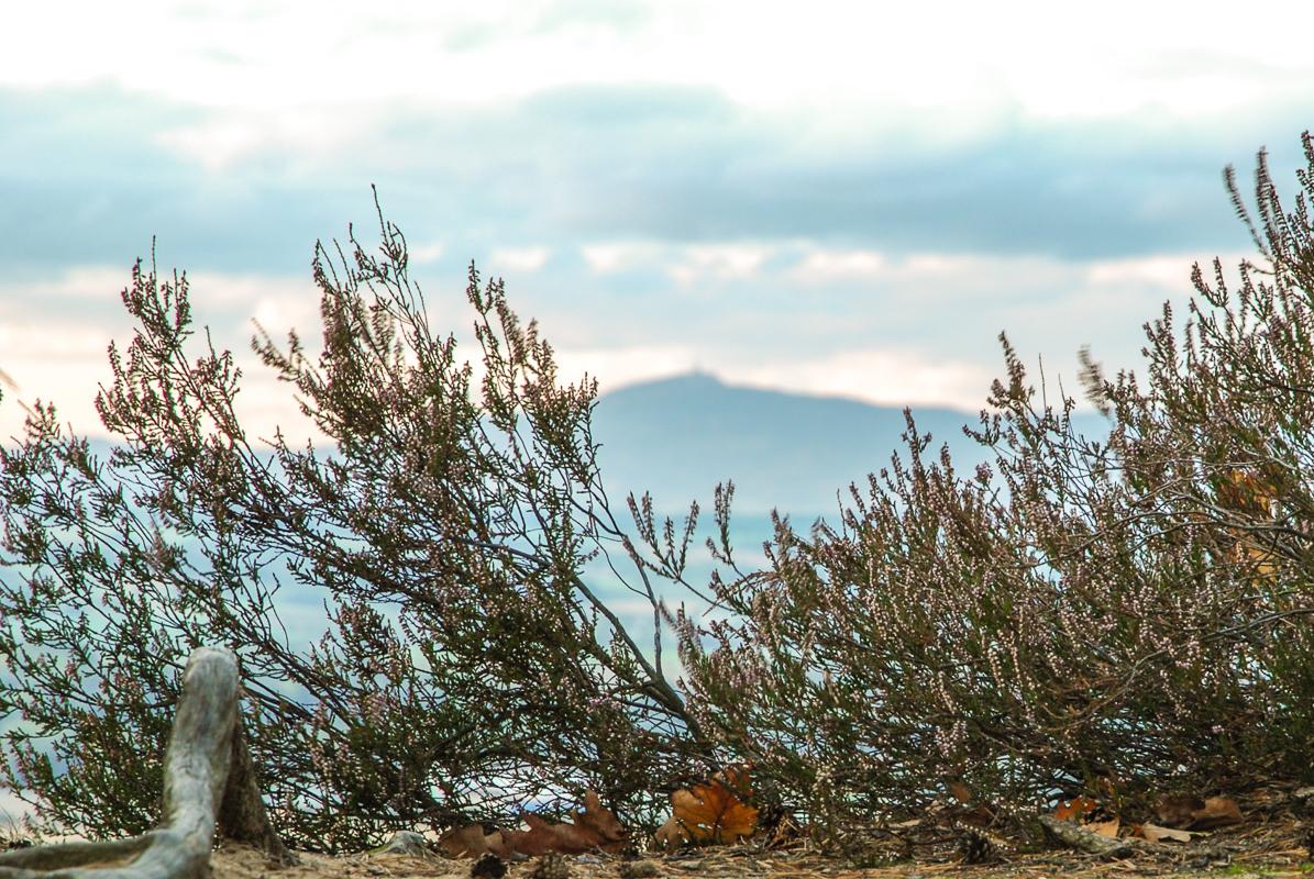 Ještěd - průhled vřesem v Příhrazských skalách.