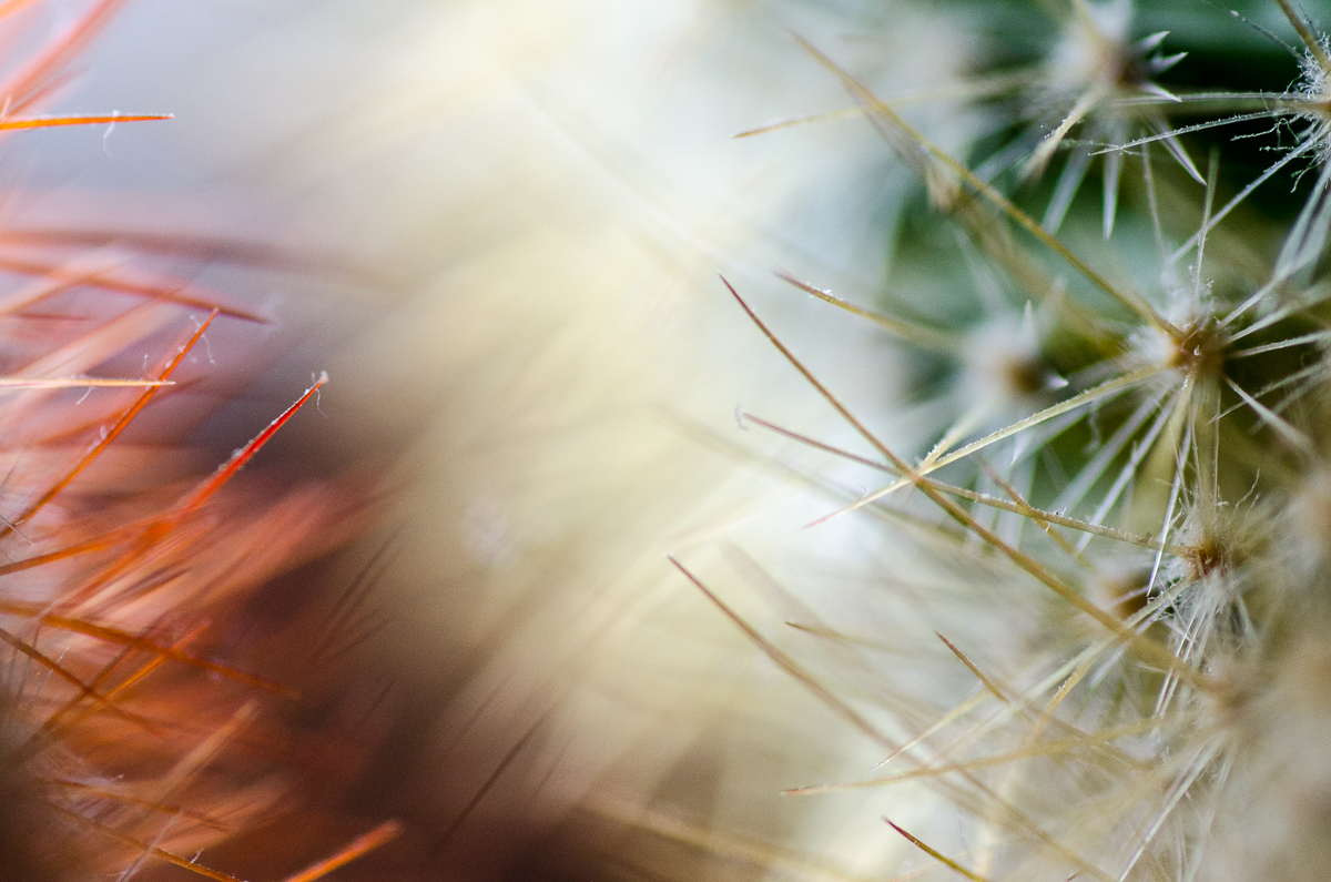 Makro detail trnů na kaktusu