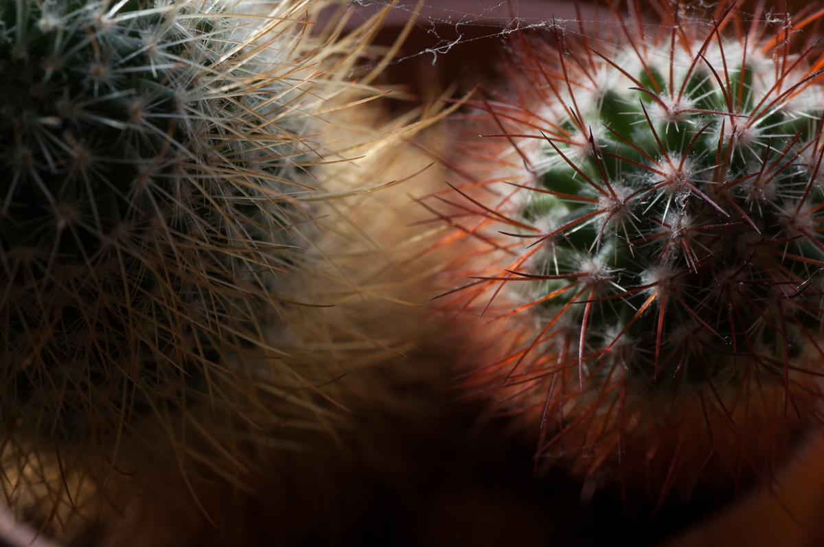 Pohled na mé dva kaktusy shora - snímek nic moc, pohled doprostřed a hra barev mi napovídá, že to chce jít blíže a něco zajímavého ještě vznikne...