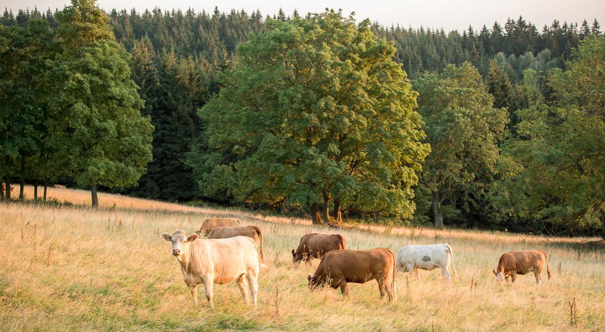 Krávy se pasou při západu slunce nad Zdobnicí