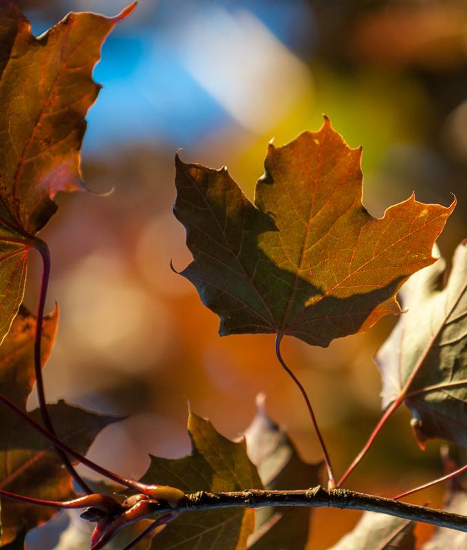 Javorový list v podzimní paletě