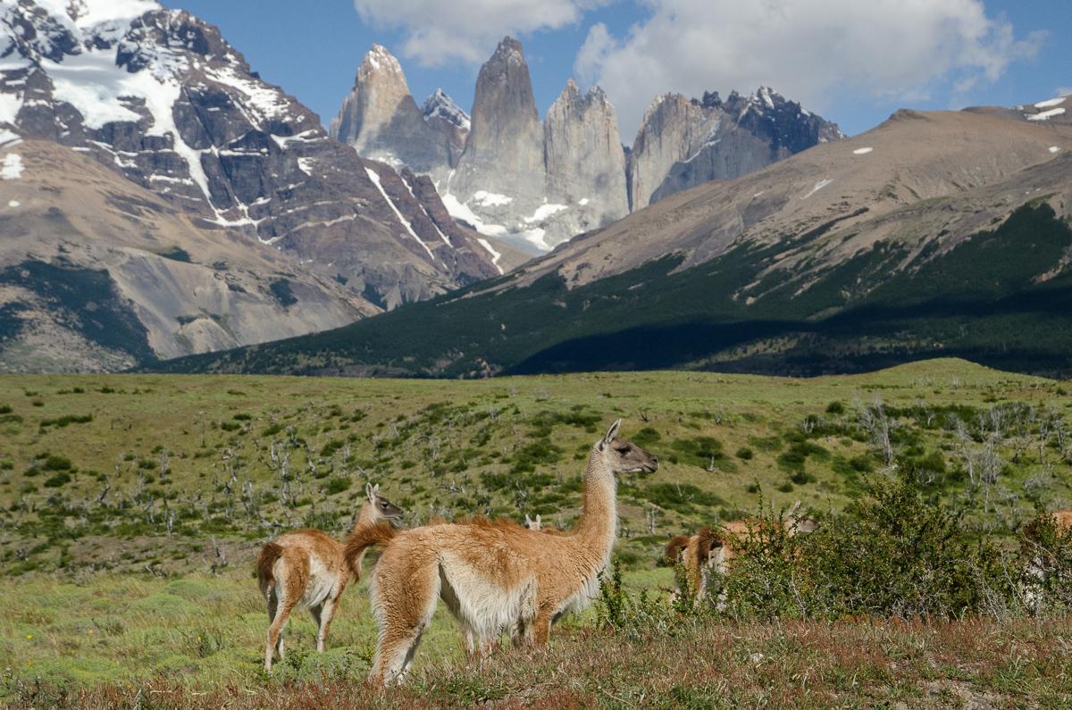 Lamy Guanaca se pasou v národním parku Torres del Paine (Chile) - v pozadí jsou vidět Tři věže (Las Tres Torres)