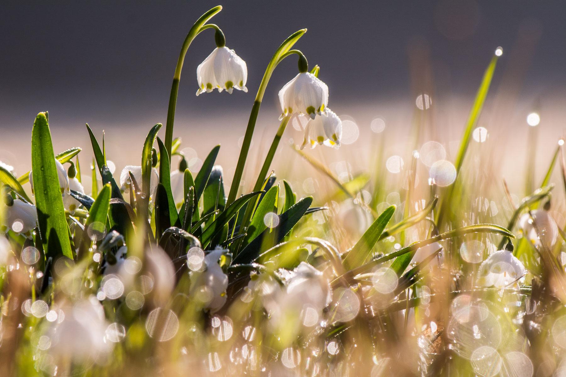 Když zima jaru ustupuje: bledule jarní vČeském ráji u Podsemína
