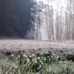 Český ráj, ranní, Leucojum vernum, námraza, bledule jarní