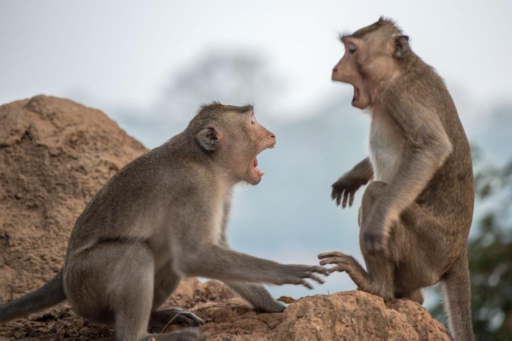 opice, makak