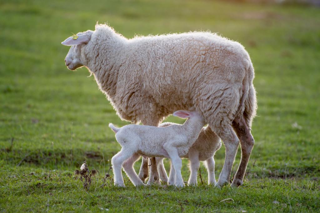 Ovce, pastva, Nikkor 200-500mm f5,6 VR AF-S G ED