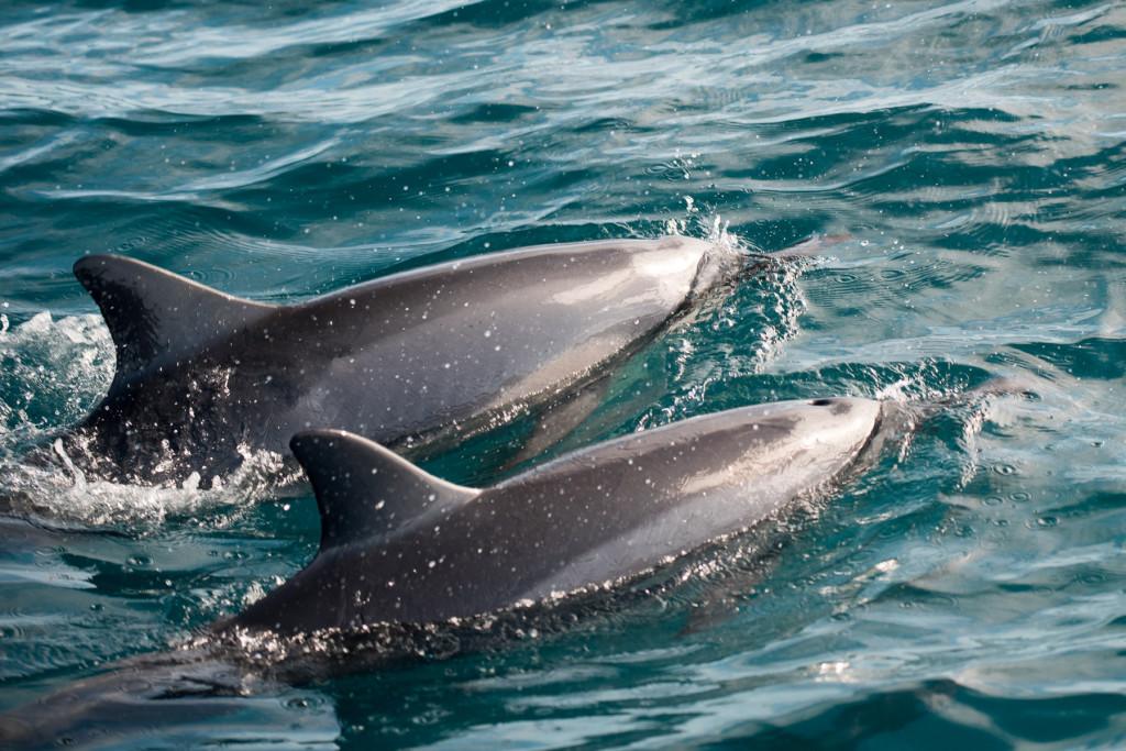 Delfini-21