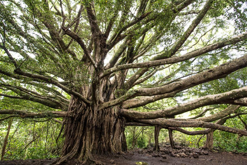 Banyon Tree, Pipiwai Trail, Ostrov Maui, Havaj