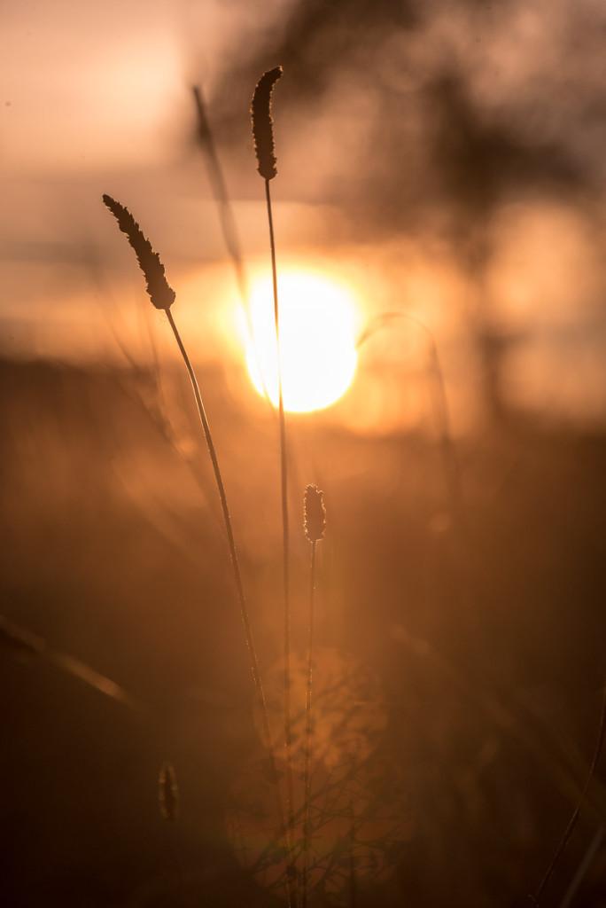 Stébla trávy v nízkém protislunci