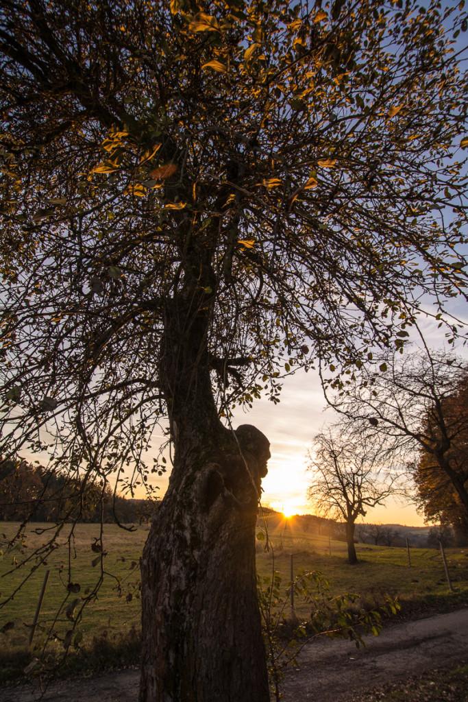Poslední paprsky slunce na skoro opadané jabloni