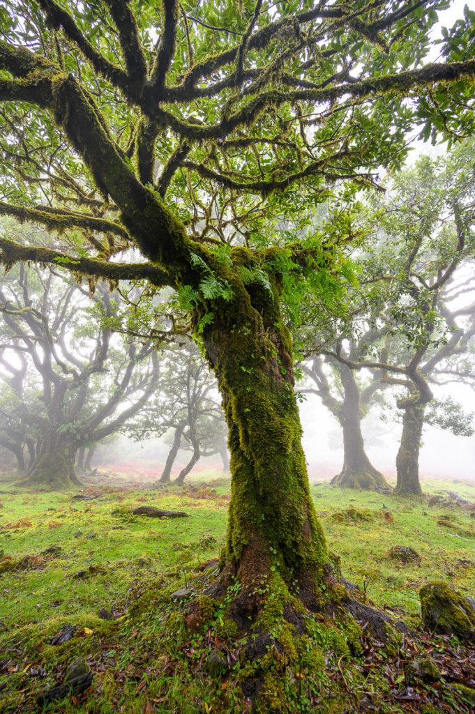 Fanal - mlžný les na Madeiře